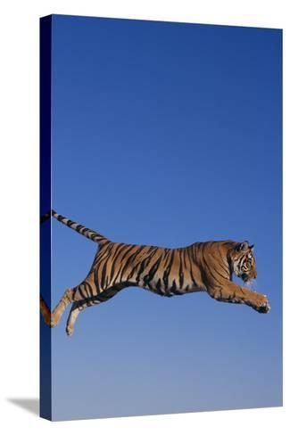 Bengal Tiger Jumping-DLILLC-Stretched Canvas Print