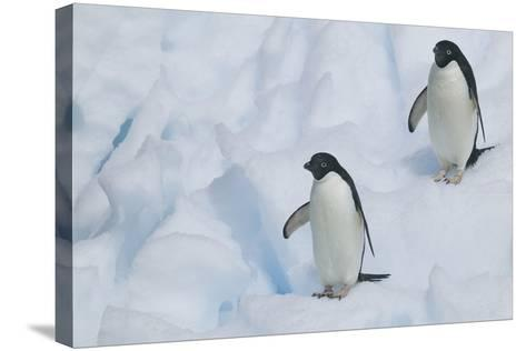 Adelie Penguins Walking on Ice Floe-DLILLC-Stretched Canvas Print
