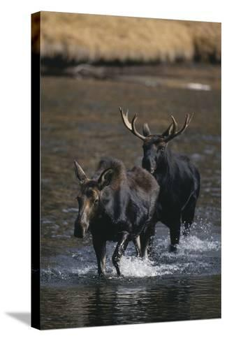 Moose Walking in River-DLILLC-Stretched Canvas Print