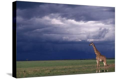 Masai Giraffe in Savanna-DLILLC-Stretched Canvas Print