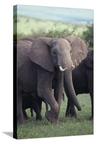 Elephant-DLILLC-Stretched Canvas Print