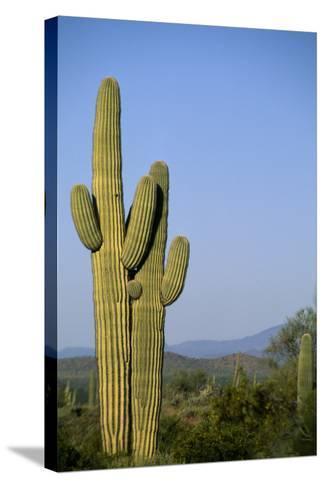 Saguaro Cactus in Desert-DLILLC-Stretched Canvas Print
