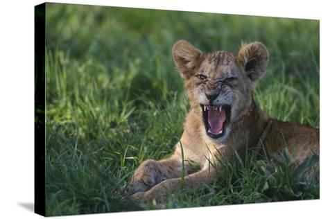Lion Cub Snarling-DLILLC-Stretched Canvas Print