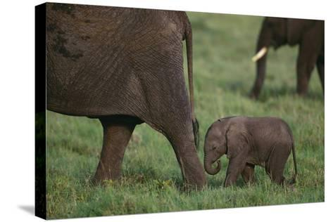 Tiny Elephant following Large Adult-DLILLC-Stretched Canvas Print