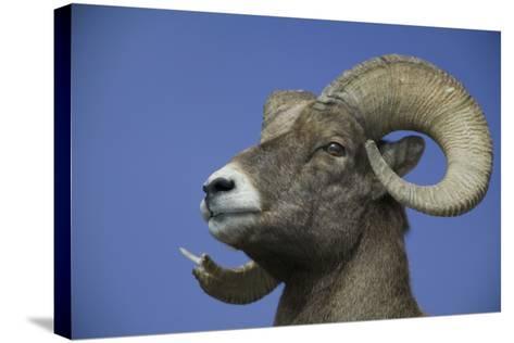 American Bighorn Sheep-DLILLC-Stretched Canvas Print