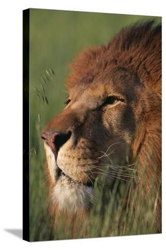 Lion in Grass-DLILLC-Stretched Canvas Print