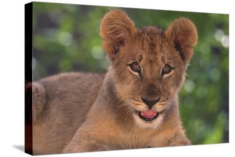 African Lion Cub-DLILLC-Stretched Canvas Print