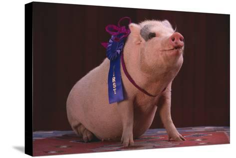 Prize-Winning Pig-DLILLC-Stretched Canvas Print