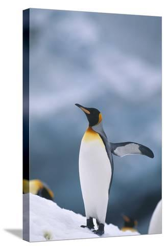 King Penguin with Wing Outstretched-DLILLC-Stretched Canvas Print