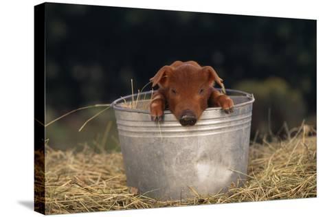 Duroc Piglet in a Bucket-DLILLC-Stretched Canvas Print