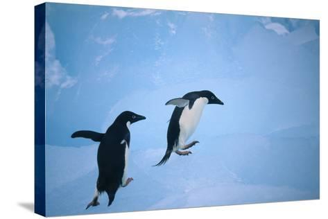 Adelie Penguins Climbing Ice Floe-DLILLC-Stretched Canvas Print