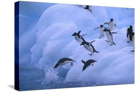 Adelie Penguins Jumping into Water-DLILLC-Stretched Canvas Print