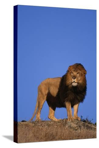 African Lion-DLILLC-Stretched Canvas Print
