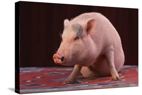 Sitting Pot-Bellied Pig-DLILLC-Stretched Canvas Print