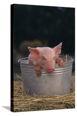 Piglet in a Pail-DLILLC-Stretched Canvas Print