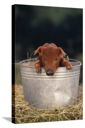 Duroc Piglet in a Pail-DLILLC-Stretched Canvas Print