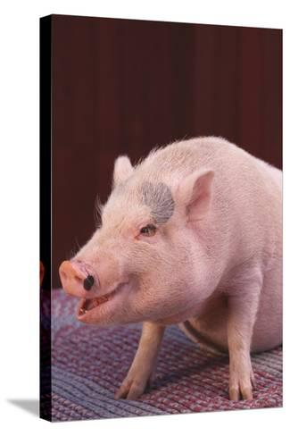 Pot-Bellied Pig-DLILLC-Stretched Canvas Print