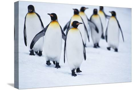 King Penguins Walking in Snow-DLILLC-Stretched Canvas Print
