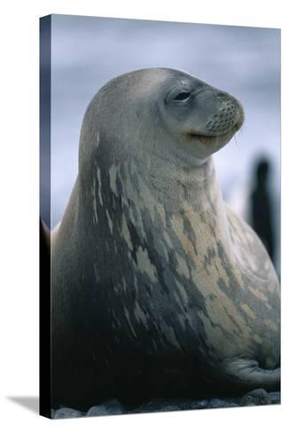 Weddell Seal-DLILLC-Stretched Canvas Print