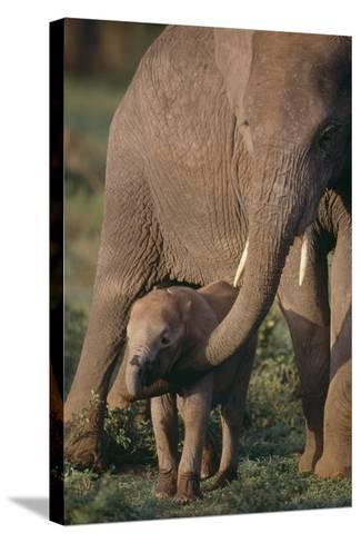 Adult Elephant Guarding Baby-DLILLC-Stretched Canvas Print