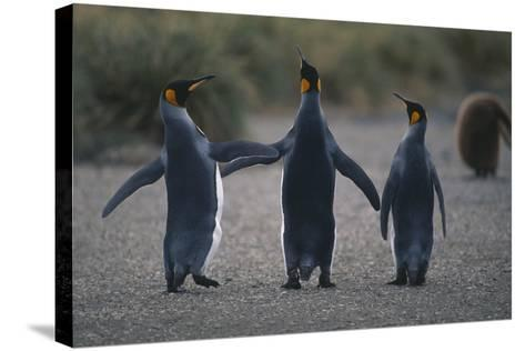 King Penguins Walking Together-DLILLC-Stretched Canvas Print