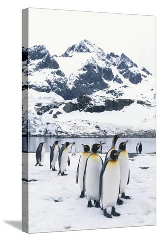 King Penguins Forming a Line-DLILLC-Stretched Canvas Print