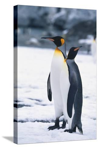 King Penguins Looking in Different Directions-DLILLC-Stretched Canvas Print
