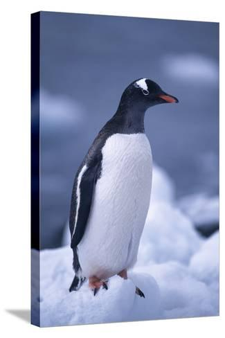 Gentoo Penguin on Ice-DLILLC-Stretched Canvas Print