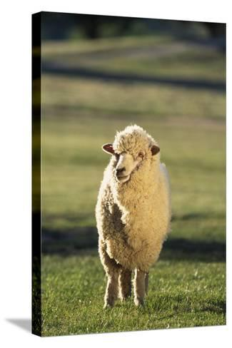 Sheep in Grass-DLILLC-Stretched Canvas Print