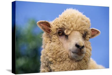 Sheep-DLILLC-Stretched Canvas Print