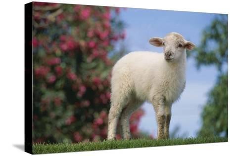 Lamb in Grass-DLILLC-Stretched Canvas Print