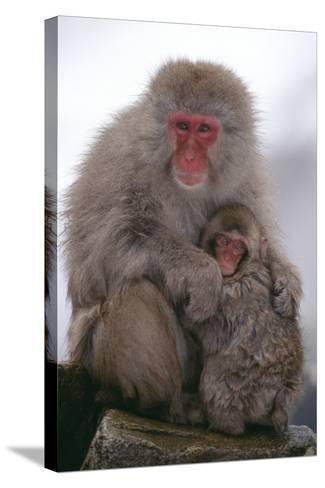 Japanese Macaque with Baby-DLILLC-Stretched Canvas Print