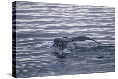 Humpback Whale Fluke-DLILLC-Stretched Canvas Print