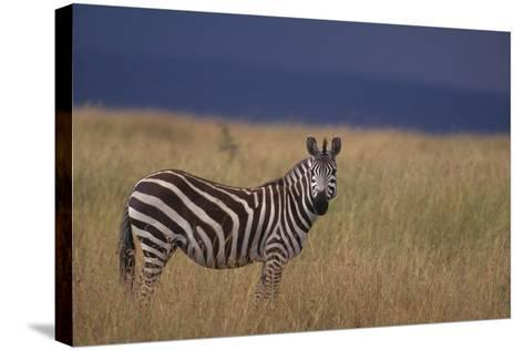 Common Zebra-DLILLC-Stretched Canvas Print
