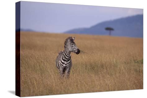 Lone Zebra-DLILLC-Stretched Canvas Print