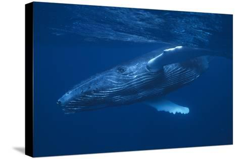 Humpback Whale Swimming-DLILLC-Stretched Canvas Print