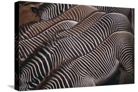 Zebra Backs-DLILLC-Stretched Canvas Print