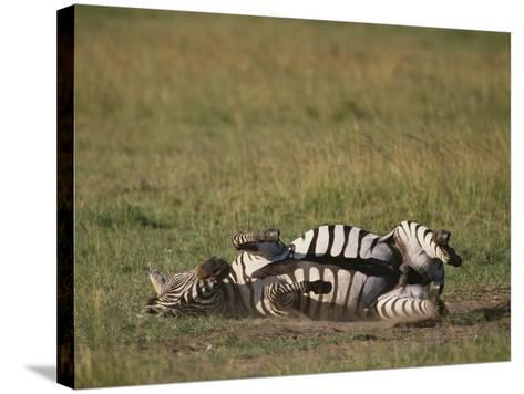 Burchell's Zebra Rolling in Dirt-DLILLC-Stretched Canvas Print