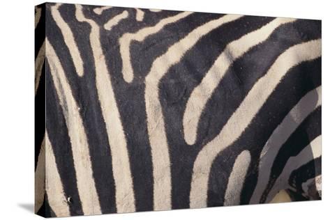 Zebra Flank-DLILLC-Stretched Canvas Print