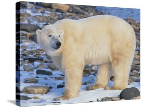 Polar Bear-DLILLC-Stretched Canvas Print