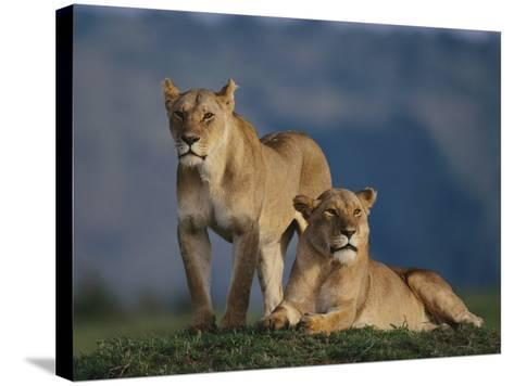 Lions Lying in Grass-DLILLC-Stretched Canvas Print