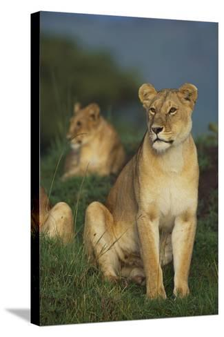 Lions in Grass-DLILLC-Stretched Canvas Print