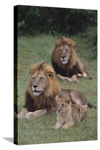 Adult Lions with Cub in Grass-DLILLC-Stretched Canvas Print