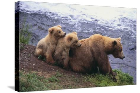 Brown Bear and Cubs-DLILLC-Stretched Canvas Print