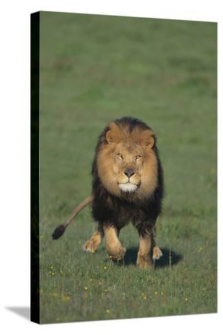Lion Running in Field-DLILLC-Stretched Canvas Print
