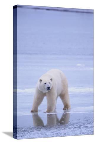 Polar Bear on Ice-DLILLC-Stretched Canvas Print