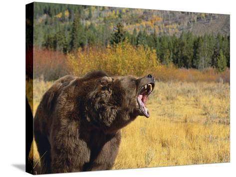 Roaring Grizzly-DLILLC-Stretched Canvas Print