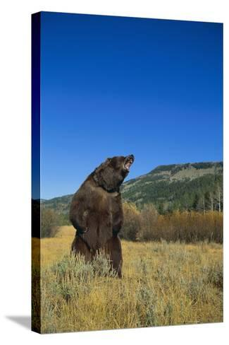 Grizzly Roaring in Mountain Meadow-DLILLC-Stretched Canvas Print