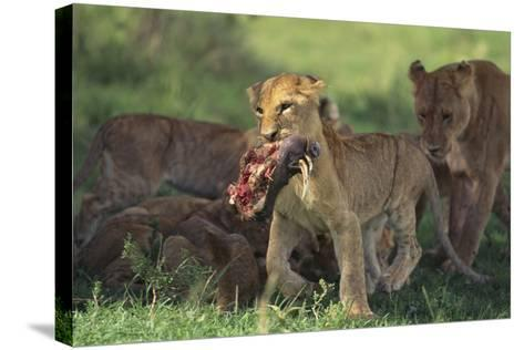 Young Lion Carrying Warthog Head-DLILLC-Stretched Canvas Print