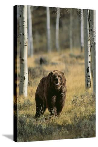 Grizzly Walking among Trees-DLILLC-Stretched Canvas Print